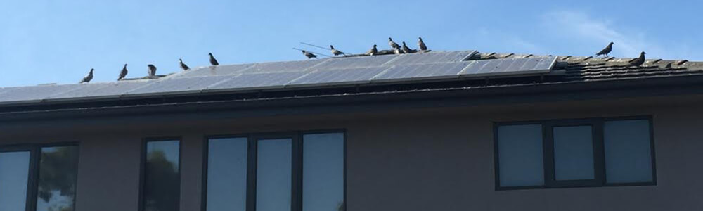 solar-panel-cleaning-birds